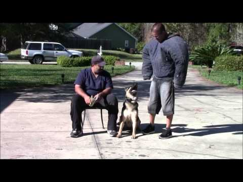 German shepherd protects owner while being attacked sitting in a chair!
