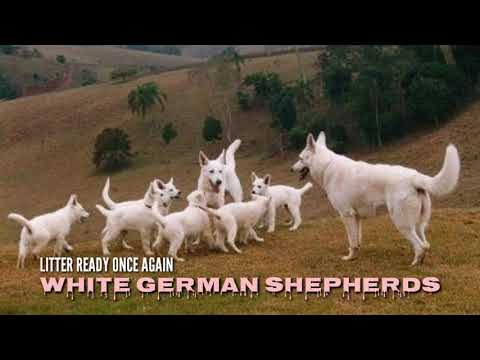 Rare: white german shepherd puppies for sale in india boskys kennel. black gsd puppies ready
