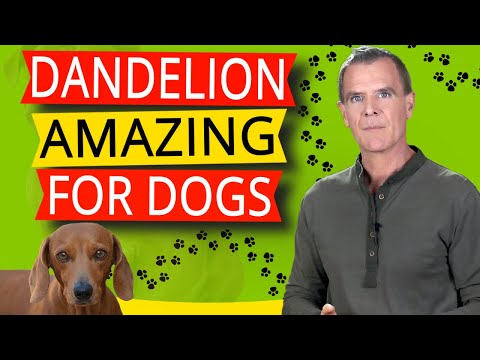 Benefits of dandelion for dogs (7 powerful nutritional & healing benefits)