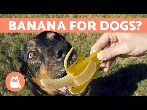 Is banana good for dogs? 🍌 fruits for dogs