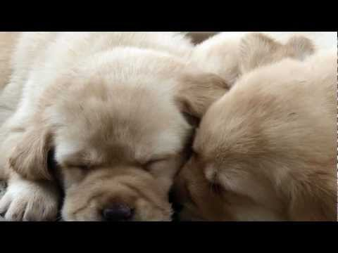 Labrador puppies for sale in nsw by registered labrador breeder