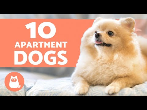 10 best apartment dogs 🏠 breeds for small spaces