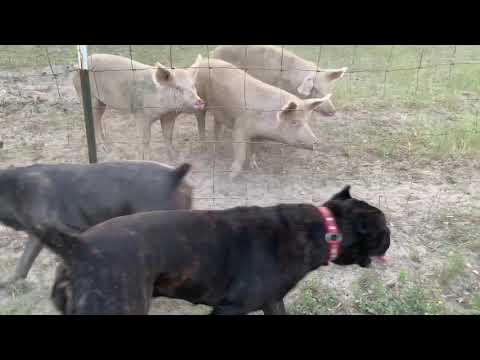 The goatherd's cane corso