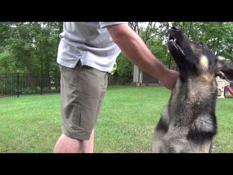 Gsd growling on command
