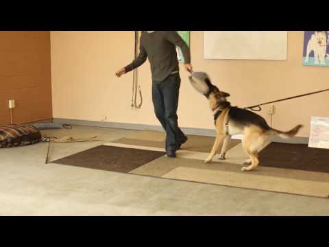 Real dog trainers of slc- how to train a protection dog- german shepherd