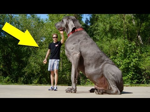 🐕🐶 10 biggest and awesome dog breeds 🙀