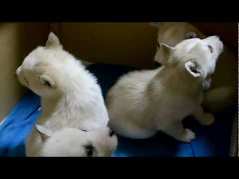 How to feed puppy husky