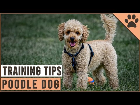 How to train a poodle   dog world