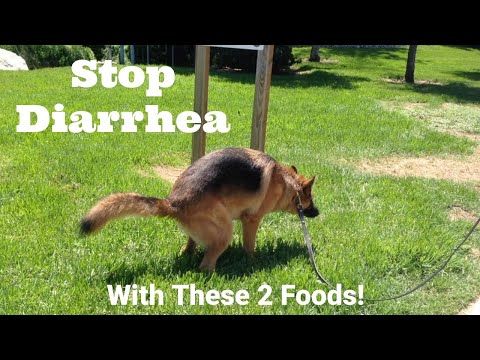 How to stop diarrhea in dogs - dimples, gsd knows how #3