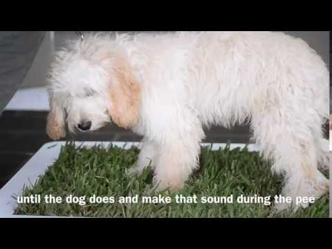 Toilet training your dog on real grass with nathan williams & potty plant