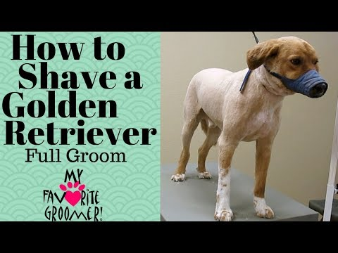 How to groom a golden retriever shave down