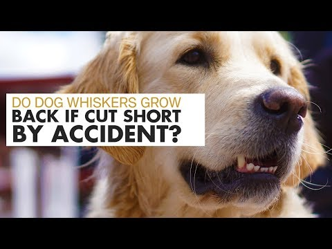 Do dog whiskers grow back if cut short by accident
