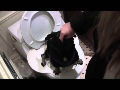 Teach dog to use toilet - smart pug uses real toilet so cute!
