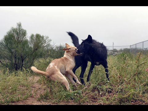 Can a dog out run a wolf?
