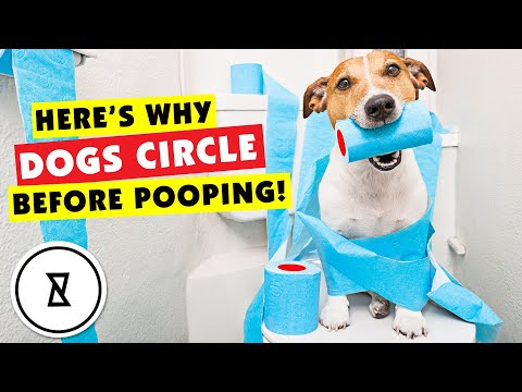 Why do dogs circle before pooping? #shorts