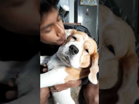 Beagle growling || blowing in my dog's face
