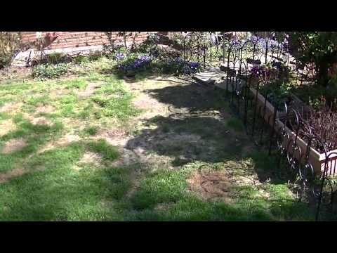 Dog urine damage of a lawn and a possible solution