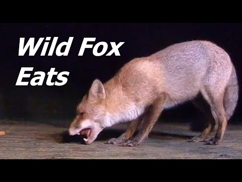 Fox feeding wild red foxes come to eat uk foxes part 2