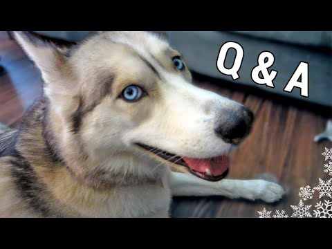 What are the best and worst things about siberian huskies
