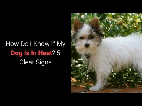 How do i know if my dog is in heat? 5 clear signs