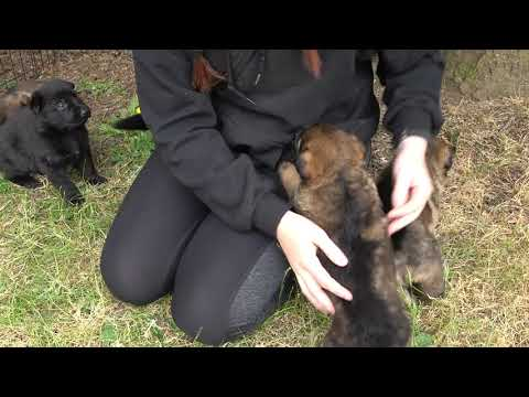German shepherd puppies highly sociable, outgoing, and friendly at just 26 days old!