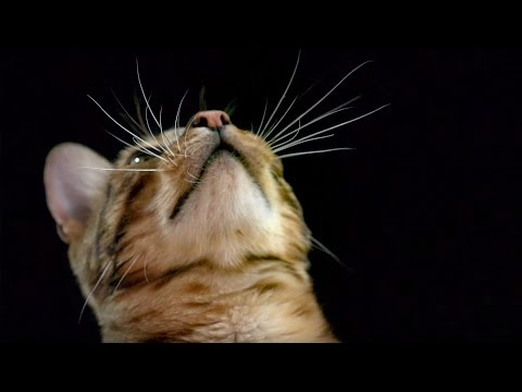 How do cats use their whiskers? slow-motion | cats uncovered | bbc earth