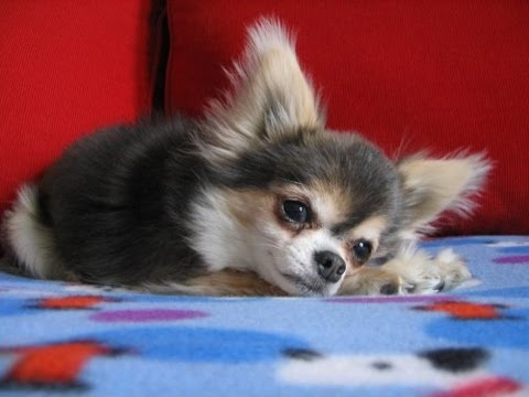 Dog heart attack - chihuahua with congestive heart failure