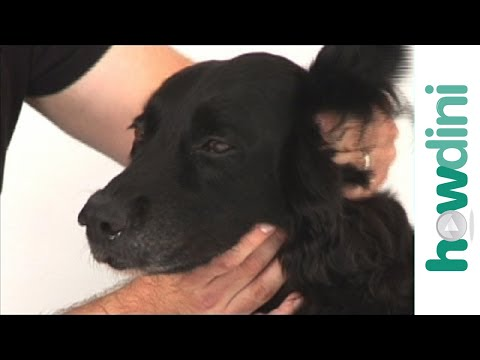 How to clean your dog's ears at home - tips for cleaning a dog's ears