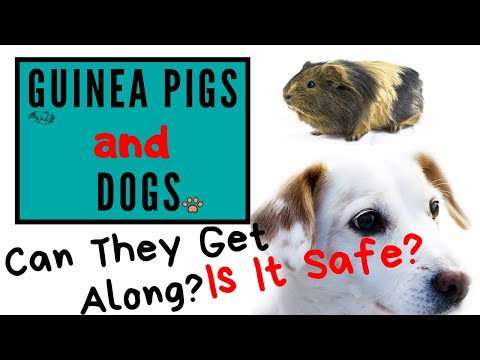 Guinea pigs and dogs   can they get along?
