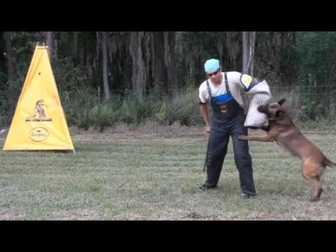 """Dog training video preview - """"bite on command"""""""