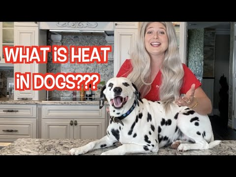 Canine heat cycle | the dog period!