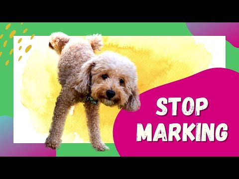 How to stop a dog from marking in the house   male dog marking