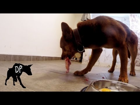 Kelpie mix eating raw beef tail with chicken and eggs.