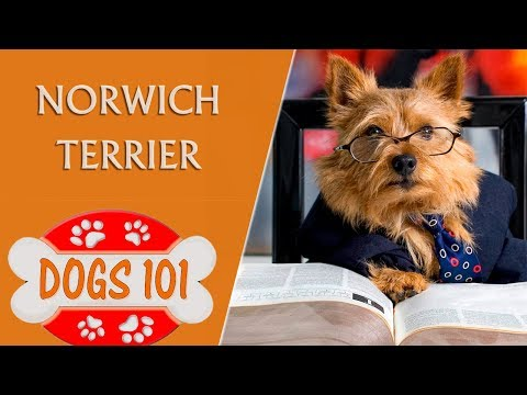 Dogs 101 - norwich terrier - top dog facts about the norwich terrier