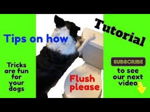 Tutorial dog closing and flushing toilet, dogs can be trained to use the toilet close it and flush