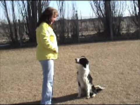 Borzoi-how smart are they