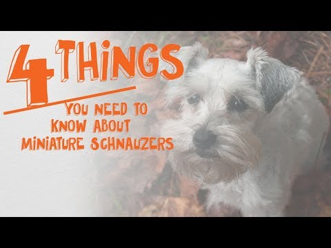 4 things you need to know about miniature schnauzers -- cone of shame with dr. andy roark