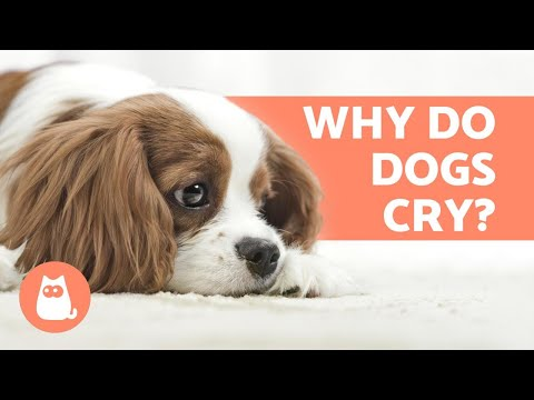 Why do dogs cry? - 6 main causes
