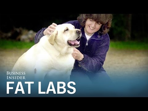 Scientists figured out why so many labrador retrievers are fat