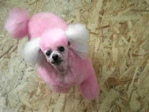 Skeeter the bubblegum pink poodle at itzaclip! doggy day spa