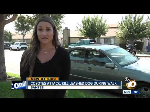 Coyotes attack, kill leashed dog in santee