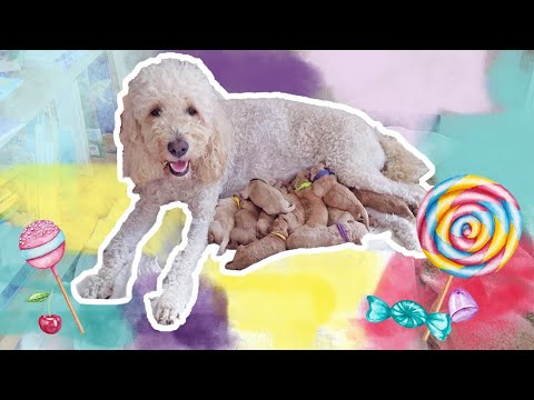 Sweet goldendoodles! the candy litter is born!