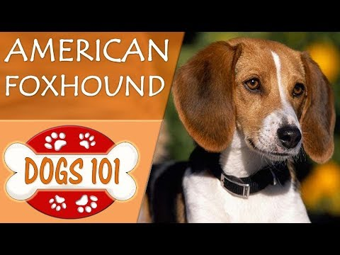 Dogs 101 - american foxhound - top dog facts about the american foxhound
