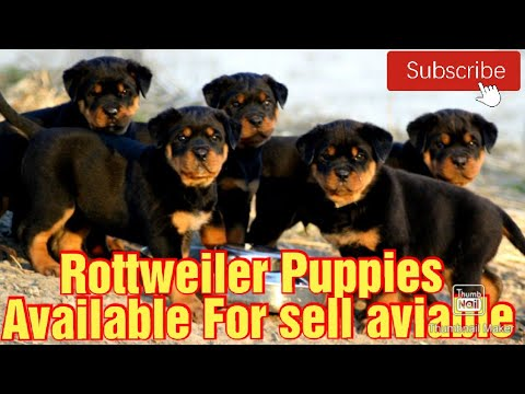 Rottweiler puppies on sale in noida/delhi/ncr and all over india – buy rottweiler dog #short