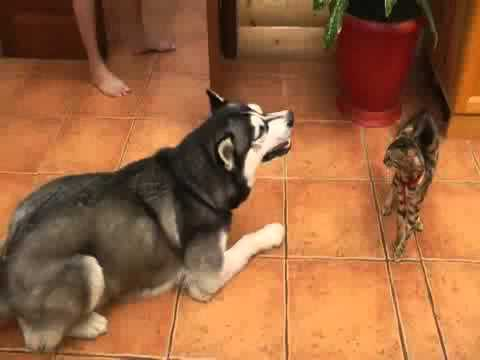Husky wants to play with cat so bad.