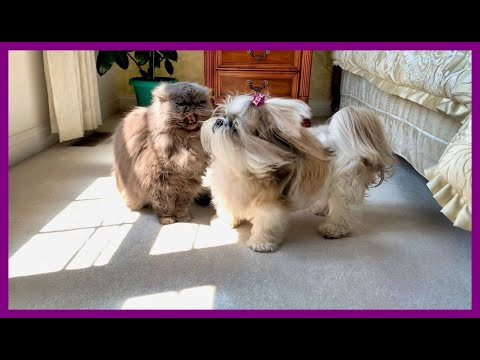 What is happening between lacey 🐶 and lexi 😾? | blue persian cat | shih tzu dog 🐾