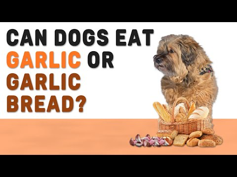 Can dogs eat garlic or garlic bread? complete guide