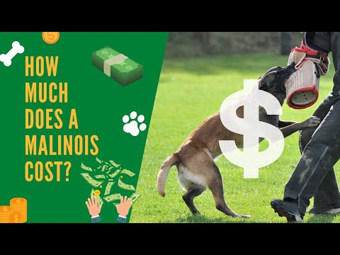 How much does a belgian malinois cost?   what does it cost to train a belgian malinois?