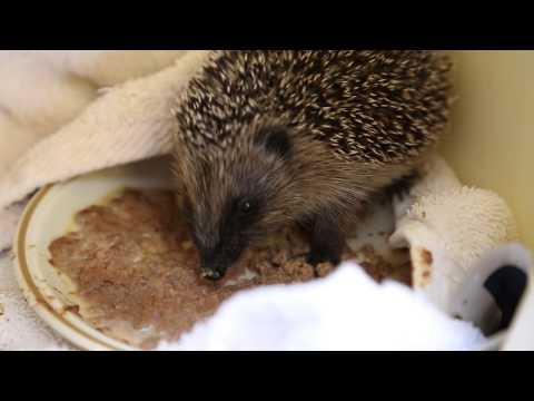 Harry the hedgehog is eating solid food now!