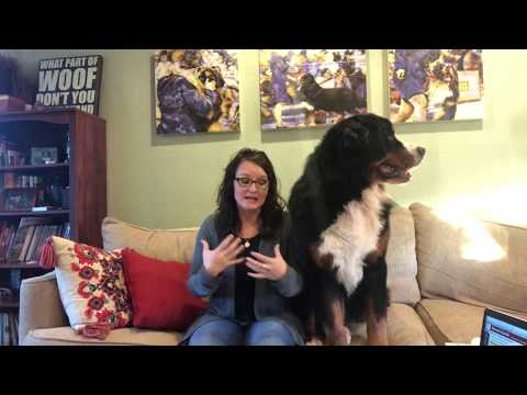 How to buy a bernese mountain dog puppy. how to find a good breeder so you can have a healthy puppy!